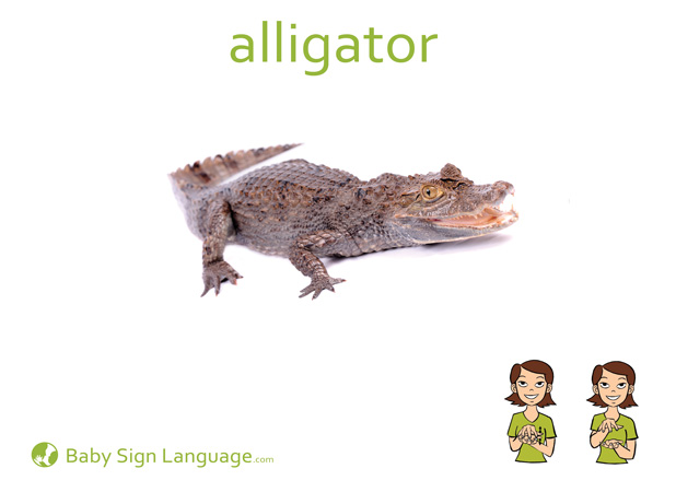 Alligator Baby Sign Language Flash card