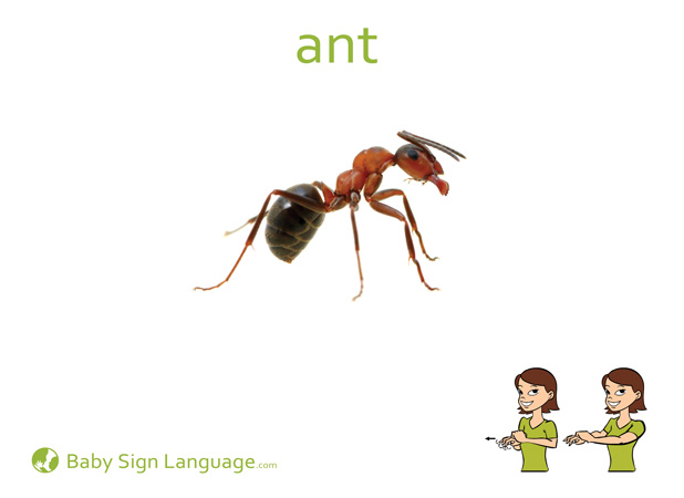 Ant Baby Sign Language Flash card