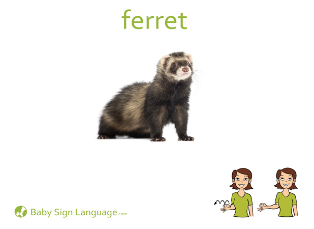 Ferret Baby Sign Language Flash card