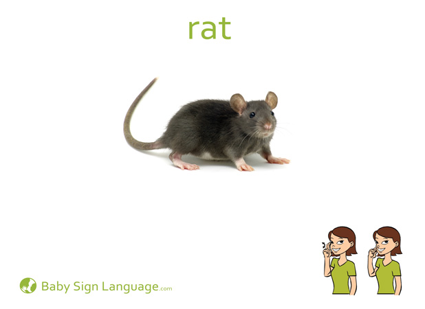 Rat Baby Sign Language Flash card
