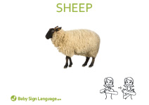 Sheep Flash Card Thumbnail